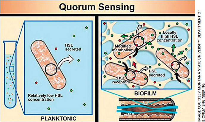 Figure 1. Homoserine lactones and quorum sensing leading to toxin release from biofilm.